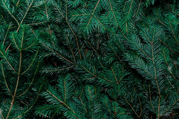 Fir tree background. top view of spruce branches