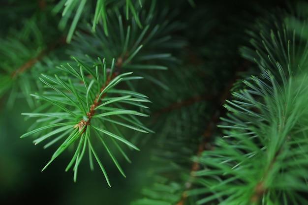 モミの木の枝のクローズアップ