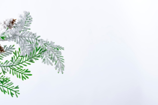 Fir tree branch with cones covered with snow on white background