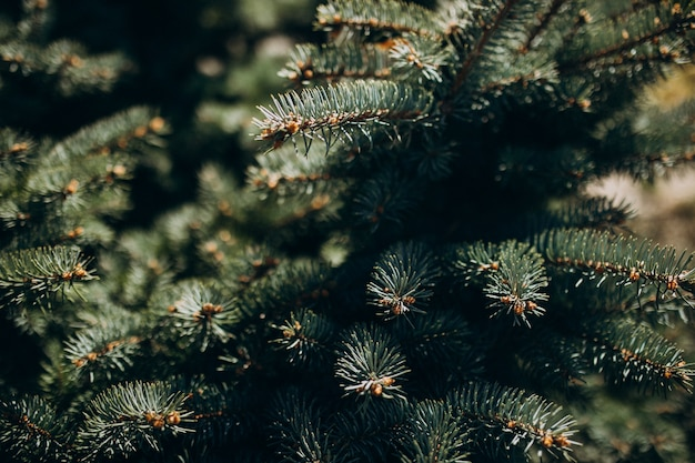 Fir tree branch with needles close up