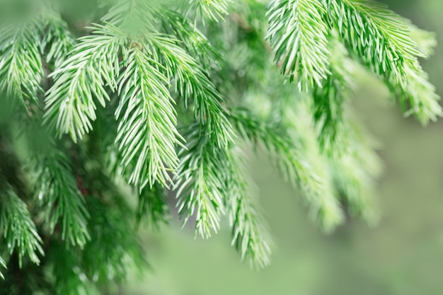 Fir tree branches close up. natural green conifer branches of tree.