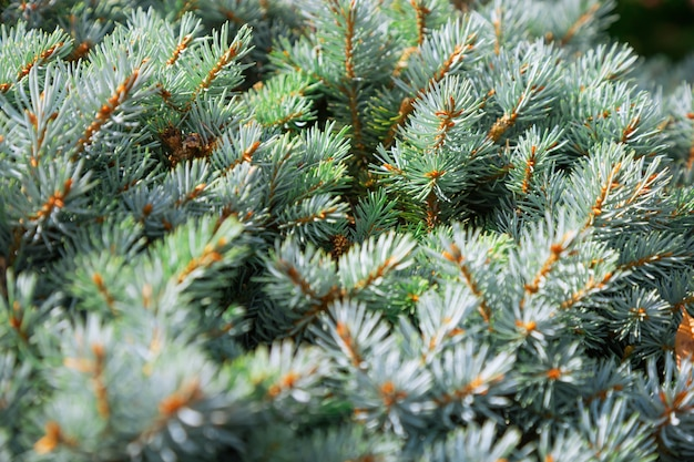 Fir-tree branches closeup. background of prickly pine branches.