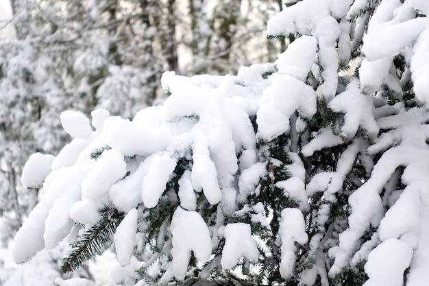 Ветки ели, покрытые снегом