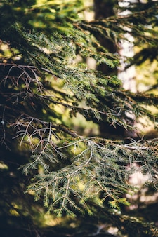 Fir tree branches in the forest