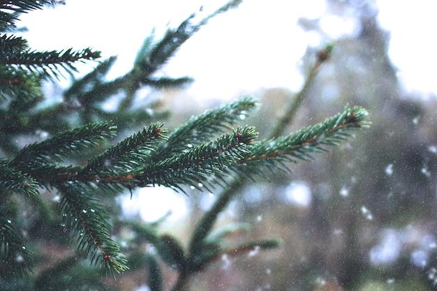 겨울 숲에서 전나무 나무 가지