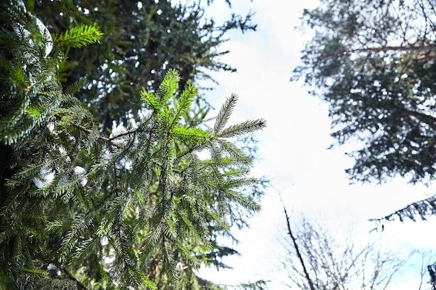モミの木。スプルースの枝。冬の森。閉じる