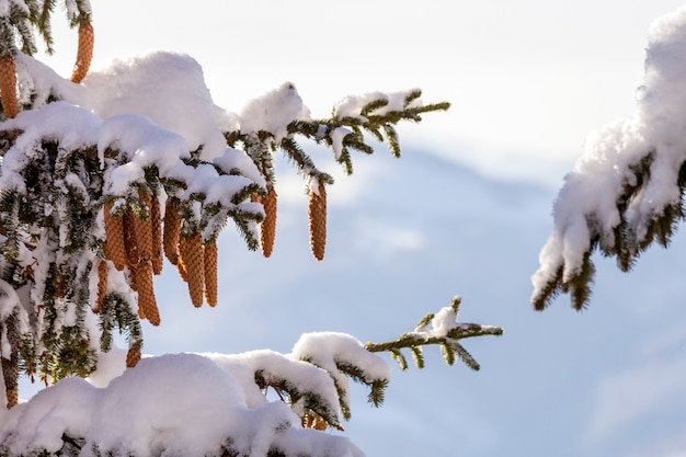Fir-tree branches with green needles and cones covered with deep fresh clean snow and hoarfrost on blurred blue outdoors  merry christmas and happy new year greeting card.