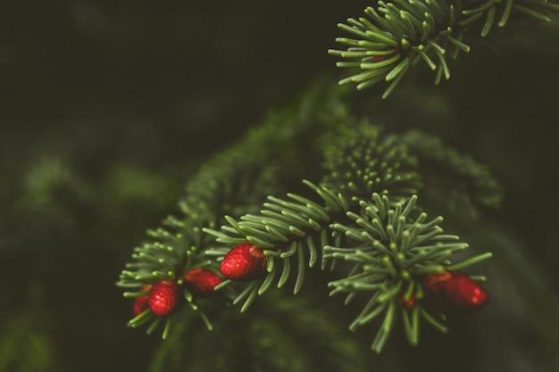 モミの木のブランチをクローズアップ。浅い焦点。ふわふわのモミの木のブランチをクローズアップ。クリスマスの壁紙のコンセプト。