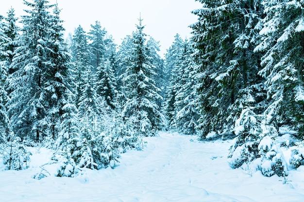 モミの木ロシアの冬の森と雪の道。冬の風景。