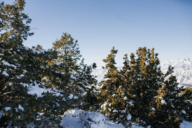 Ели, покрытые снегом в лесу зимой в солнечный день