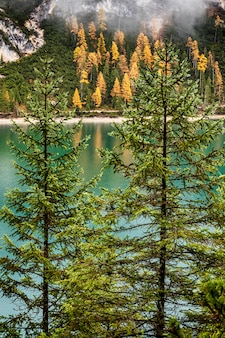 Fir trees and emerald green lake braies in dolomites, italy