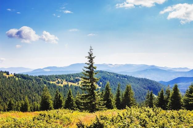 晴天時の山を背景にしたモミの木_