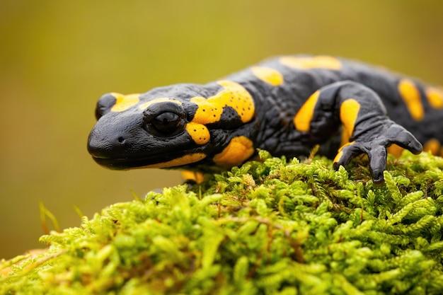 Огненная саламандра ползет по стволу мшистого дерева