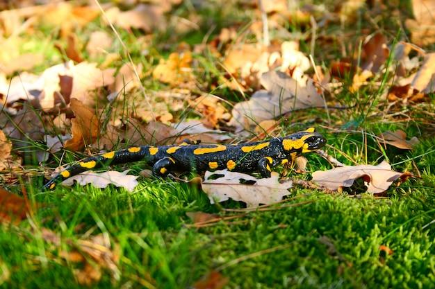 Огненная саламандра в зеленой траве