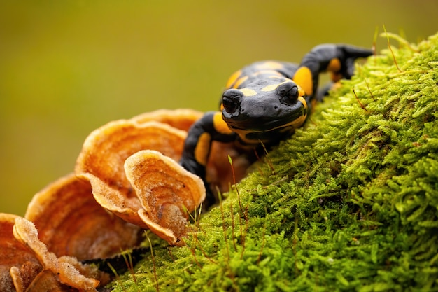 Fire salamander on moss and fungus