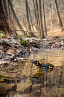 Fire salamander resting in shallow water on a sunny day in springtime