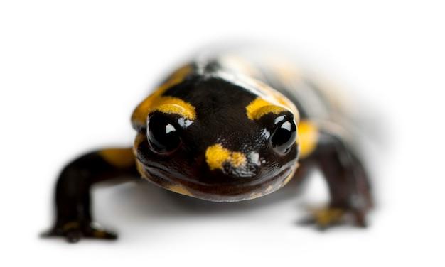 Огненная саламандра (salamandra salamandra)