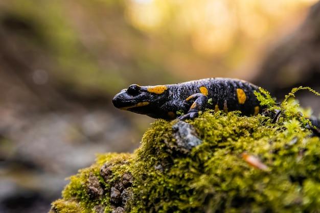 Огненная саламандра сидит на замшелом камне