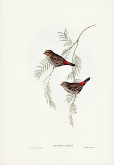 Fire-tailed finch illustrated by elizabeth gould