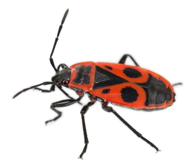 Firebug, pyrrhocoris apterus, на белом изолированные