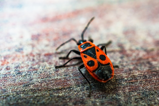 Firebug on wooden surface.
