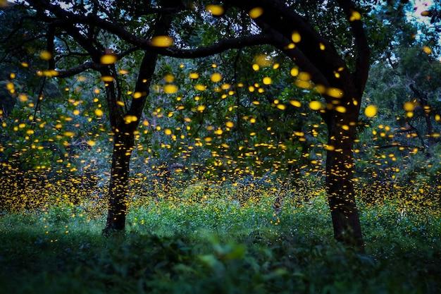 숲에서 비행 반딧불입니다. 태국에서 밤에 부시에서. 장시간 노출 사진.