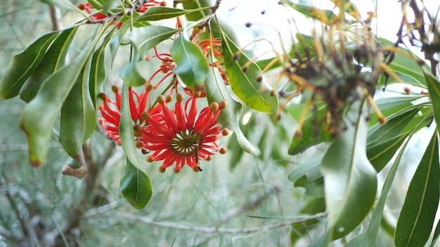 Красные цветы firewheel tree, калифорния, сша. дуб австралийский белый говяжий, stenocarpus sinuatus необычный, уникальное своеобразное экзотическое соцветие. спокойная атмосфера леса, дизайн сада в тропических лесах
