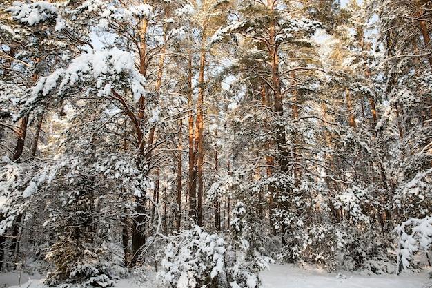 冬季のもみと松、公園や森の冬の天候と松のもみ、新鮮な松やもみの降雪後の凍るような冬