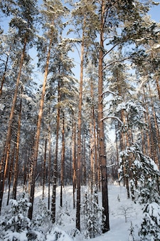 冬季のもみと松、公園や森と松のもみの冬の天候、新鮮な松やもみと降雪後の凍るような冬