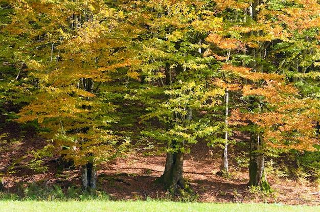 Первая осенняя желтая листва в солнечном буковом лесу