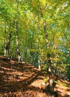 Первая осенняя желтая листва в солнечном горном буковом лесу