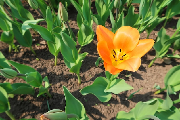 First blossomed orange tulip flower on the flower bed among other closed tulip buds