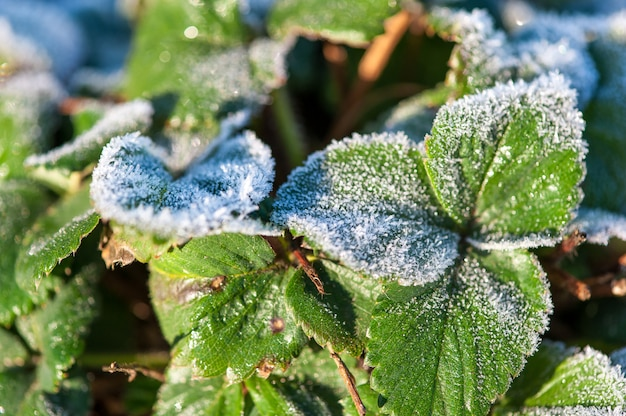 The first frost in the fall on the green leaves of strawberries