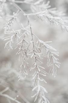 秋の公園で最初の霜。アスパラガス植物。