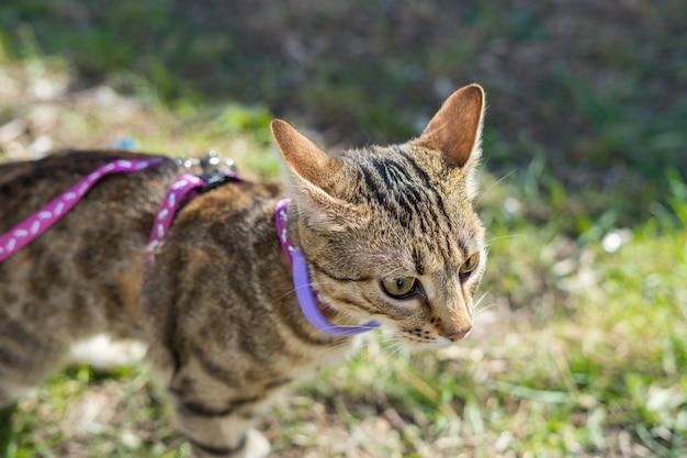 Первый выход. котенок на поводке на открытом воздухе. охота на кошек на природе