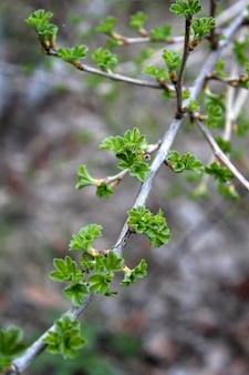First green leaves in spring