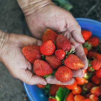 농부의 손에 정원에서 갓 딴 딸기를 처음으로 수확
