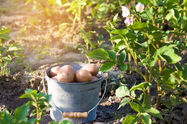 First harvest of potatoes in garden