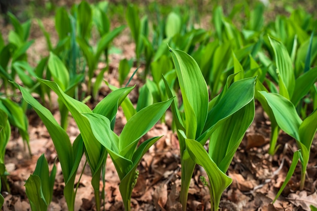 The first leaves of the spring flowers of lilies of the valley in the forest