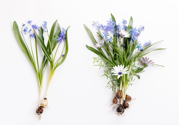 First spring bulbous flowers blue scilla on white background, festive cute bouquet. overhead top view, flat lay. copy space. birthday, mother's, valentines, women's, wedding day concept.