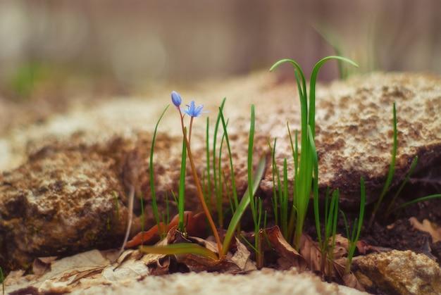 숲의 첫 봄 꽃과 초기 식물. 꽃은 scilla monanthos 또는 scilla caucasica로 알려져 있습니다.