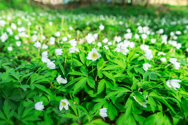 첫 번째 봄 꽃. 숲에서 개화 숲 사이의 빈 터. 자연 각성. 선택적 초점.