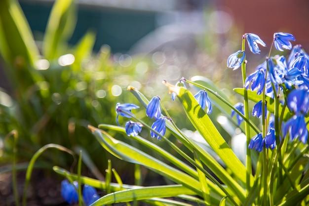 最初の春の花は、サンハインのクローズアップソフトフォーカス、クリエイティブフォーカス、ぼかしで青いスノードロップ