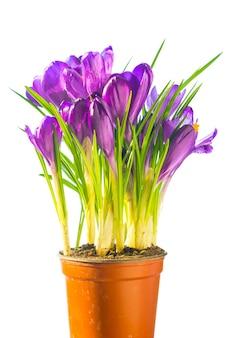 最初の春の花-白い背景で隔離のセラミックポットの紫色のクロッカスの花束