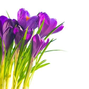 Первые весенние цветы - букет фиолетовых крокусов на белом фоне с copyspace