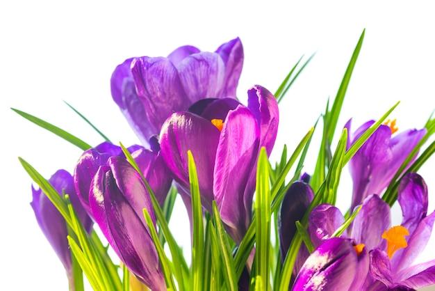Первые весенние цветы - букет фиолетовых крокусов на белом фоне