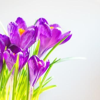 最初の春の花-紫色の菖蒲の花束、コピースペースのあるソフトフォーカスの背景の上に緑の葉のクロッカス