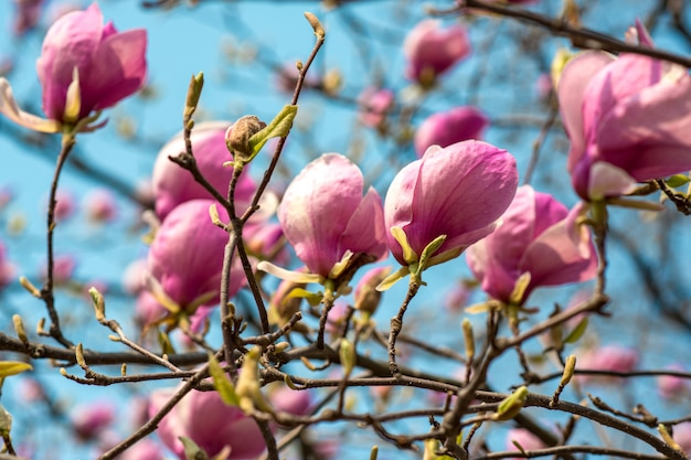 The first spring flowers of magnolia on a tree on the blue sky wall in a city park