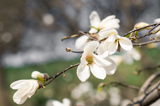The first spring flowers of magnolia on a tree in a city park
