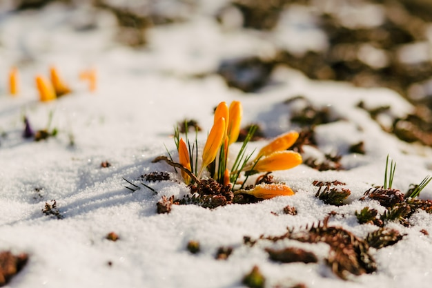 First spring flowers in snow with copy space